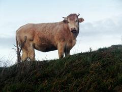 un giovane bovino al pascolo