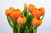 Tulips 092816-001