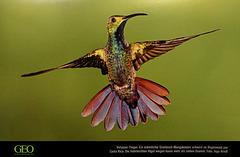 Grünbrust-Mangokolibri