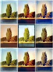 Nine poplars