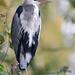 Grey Heron / Reiger (Ardea cinerea)