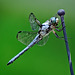8013770 DxOdcL · Dragonfly