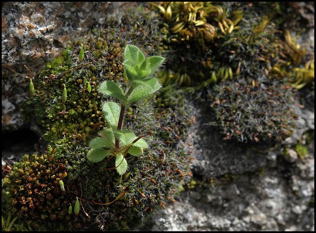 Cerastium glomeratum (1)
