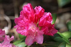 Wissahicken rhododendron