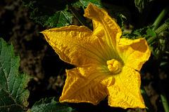 Ihre Blüte dauert nur einen Tag ....The bloom lasts only one day