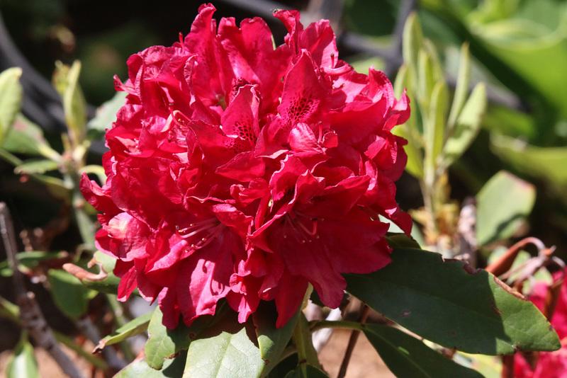 Bessie Howells rhododendron