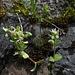 Cerastium glomeratum (2)