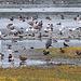20151006 8973VRTw1 [D~MS] Wasservögel, Rieselfelder Münster