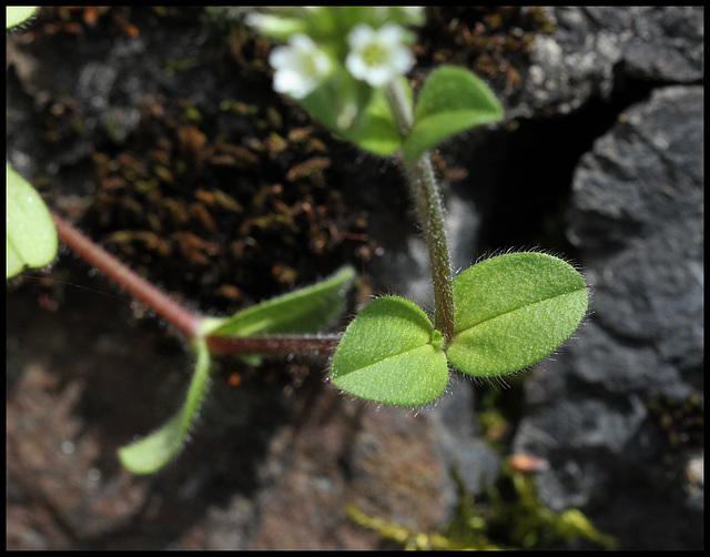 Cerastium glomeratum (3)