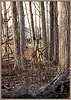 Young Doe, Obscured by Branches