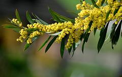 Acacia Rubida