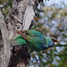 Ringnecked Parrot