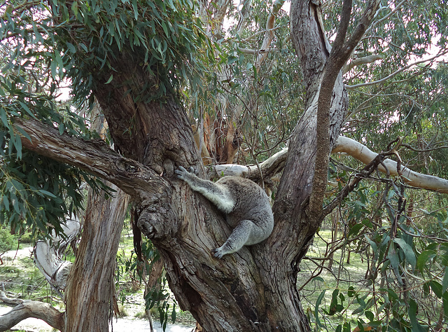 rare headless koala