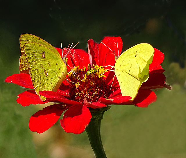Three Cloudless Sulphur's(Phoebis sennae) and  Cucumber Beetle on a Zinnia