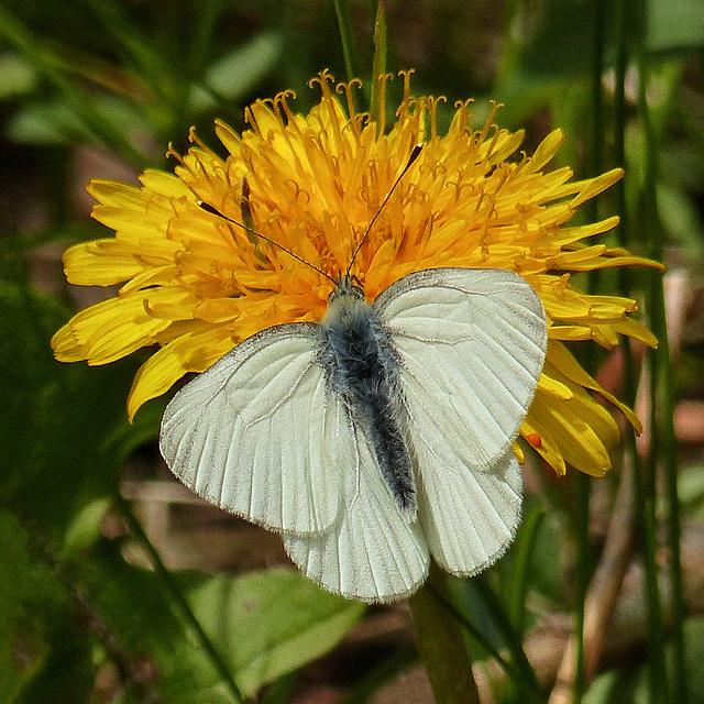 Mustard White butterfly / Pieris oleracea