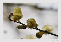 wild bee with elbow pads on blooming willow catkins
