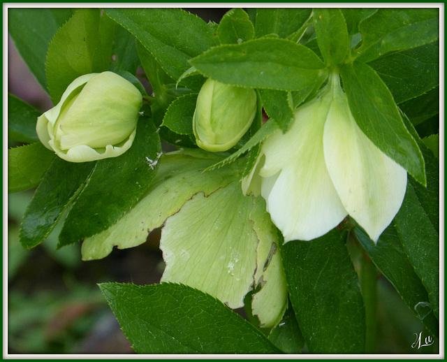 ** En vert et blanc **( rose de noël )