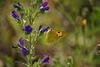 souci sur fleur de vipérine