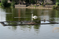 IMG 5510-001-Swan, Duck, Coots