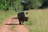 Uganda, Ziwa Rhino Sanctuary, White Rhino on the Road