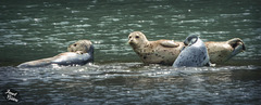Pictures for Pam, Day 198: Harbor Seals in Brookings!