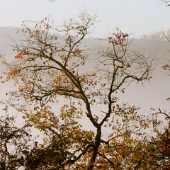 Haut-Cantal : Dancing tree with mist