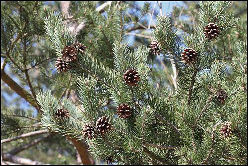 Pin sylvestre (1)