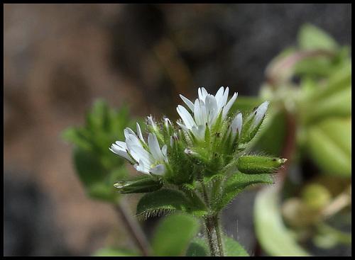 Cerastium glomeratum (6)