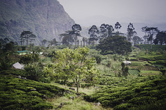 Tea shrubs in beautiful nature of Sri Lankan mountains