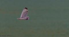 Hibou des marais (Asio flammeus - Short-eared Owl)