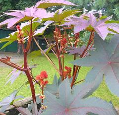 Wunderbaum Rizinus - mirakloarbo ricino
