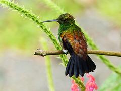 Copper-rumped Hummingbird / Amazilia tobac, Trinidad