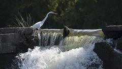 Egret on Falls