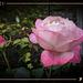 november roses ☆♡☆