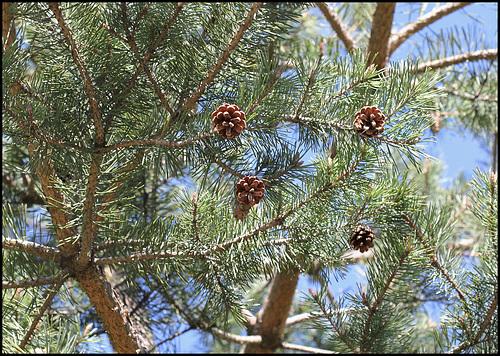 Pin sylvestre (2)