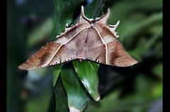 The Giant Uranid Moth