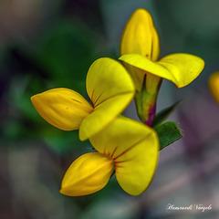 Gewöhnlicher Hornklee/Lotus corniculatus