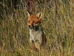 Fox taken from my bedroom window.