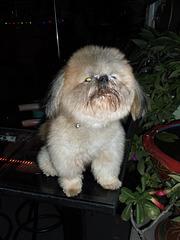 Drôle avec un caractère de chien !   (Thaïlande)