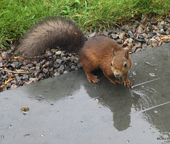 It's a wet day to be out foraging, if you are a red squirrel...