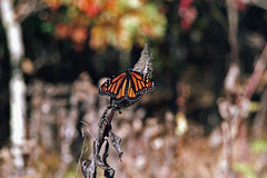 Autumn Monarch