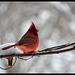 Le cardinal mange la neige