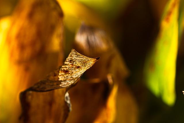 Maiglöckchenblätter lange nach der Blüte