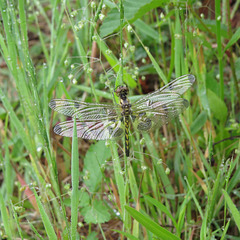 Dragonfly - probably in genus Sympetrum