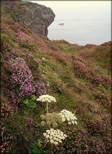 Sea carrot and heather