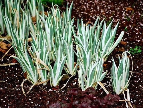 Iris pallida albo variegata
