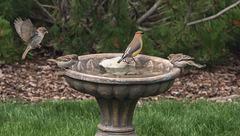 Cedar Waxwing and Sparrows