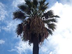 Gran palmera