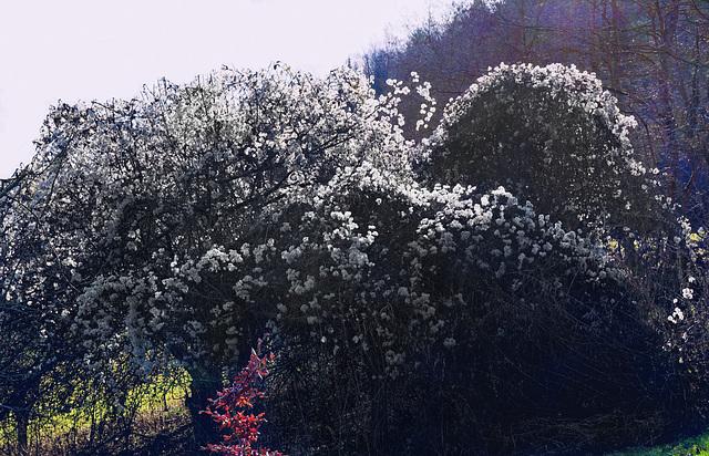 Scheinblüte - Fictitious flowering