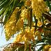 Palmier chanvre dans le parc...ou Palmier de Chine...
